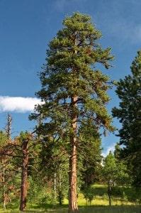ponderosa pine 1a