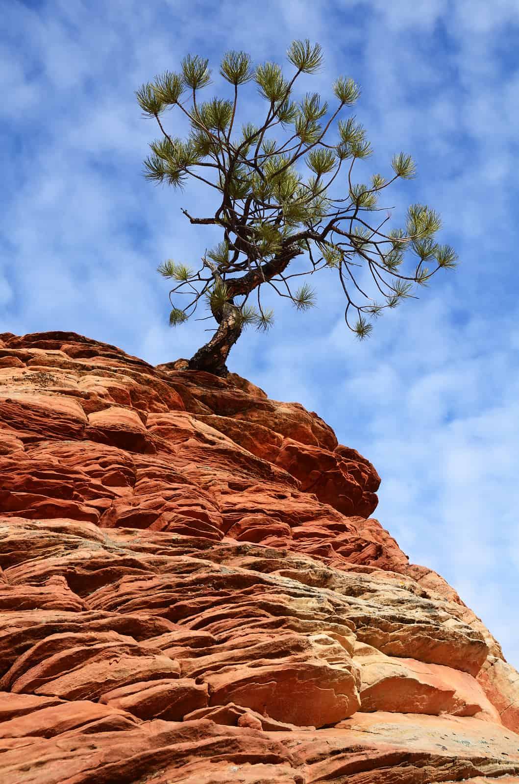 The Pinyon Pine