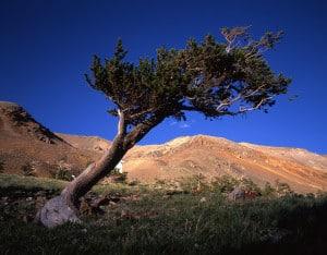 bigstock-Bristlecone-Pine-Tree-441440