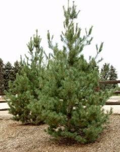 southwestern-white-pine