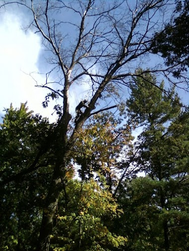 Picture of Jason removing a large, dead oak tree.