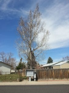 Cottonwood tree removal loveland co