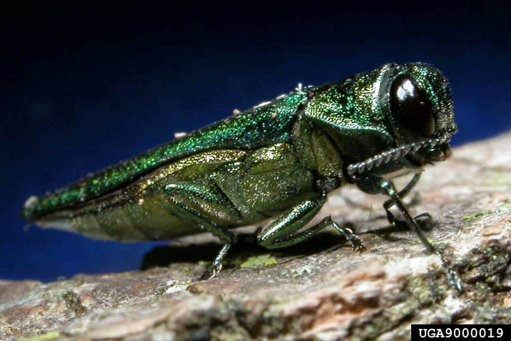 emerald ash borer colorado